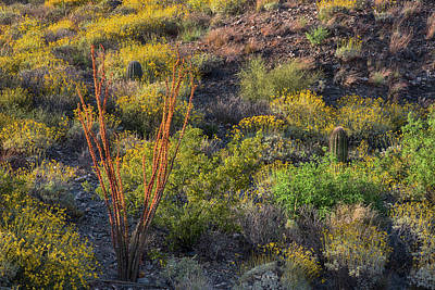 Photograph - Ocotillo Blooms In Arizona Springtime Horizontal by Dave Dilli
