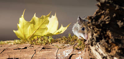 Photograph - October Mouse by Mircea Costina Photography