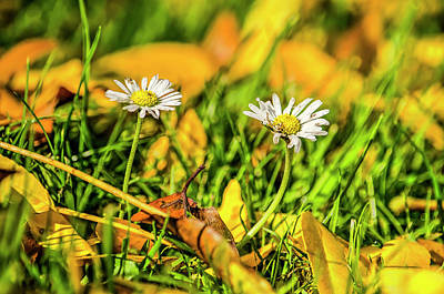 Photograph - Off-season Daisies by Frans Blok