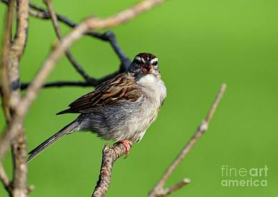 Michael Jackson - Oh No, Not You Again - Chipping Sparrow by Cindy Treger