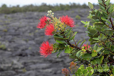 Photograph - Ohia Blossoms by Jim West