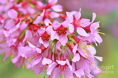 Royalty-Free and Rights-Managed Images - Okame Cherry Blossom Branch by Regina Geoghan