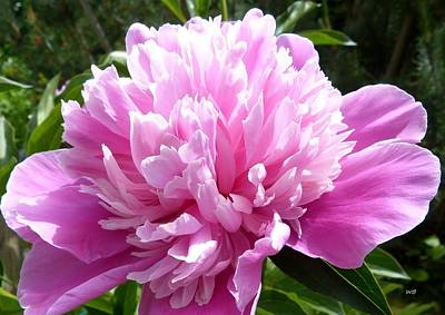 Royalty-Free and Rights-Managed Images - Okanagan Valley Peony by Will Borden