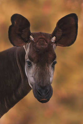 Photograph - Okapi by Brian Cross