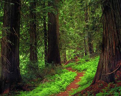 Photograph - Old Growth Cedars by Leland D Howard