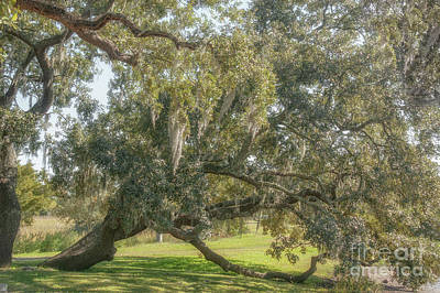 Photograph - Old South - Quercus Virginiana by Dale Powell