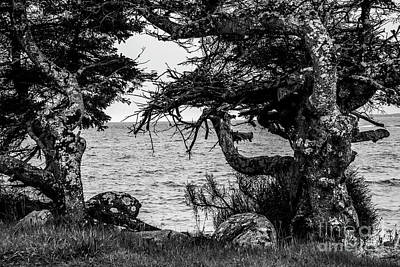 Photograph - Old Trees by Alana Ranney