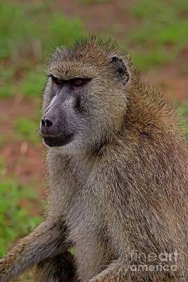 Sean Rights Managed Images - Olive Baboon-Signed-#8713 Royalty-Free Image by J L Woody Wooden