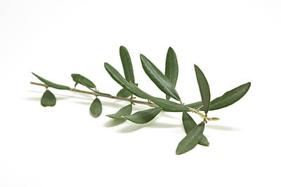 Branch Photograph - Olive Branch by Ursula Alter