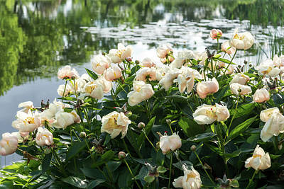 Photograph - On The Edge Of The Pond - Soft Pink Peony Garden Abloom by Georgia Mizuleva
