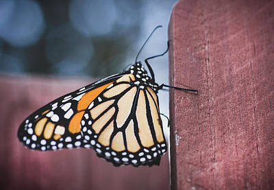 Photograph - Monarch Butterfly On The Fence by Keith Smith