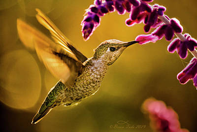 Birds Rights Managed Images - On Wings of Fire Royalty-Free Image by Brian Tada
