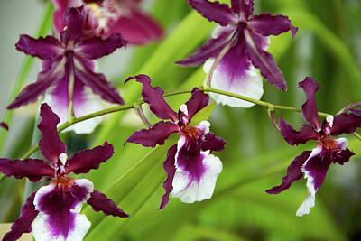 Photograph - Oncidium Orchids by Jennifer Wick