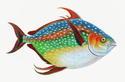 Animals Drawings - Opah by David Letts