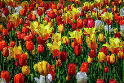 Photograph - Opulent Colorful Tulips by Garry Gay