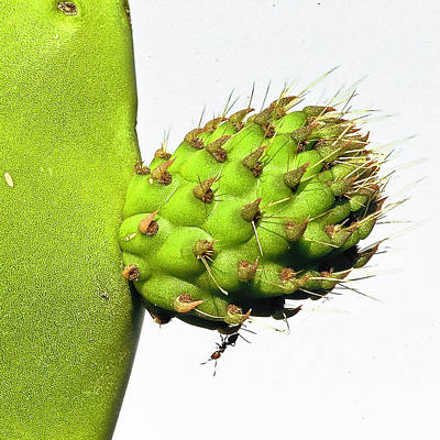 Ant Photograph - Opuntia And Ant by Luigi Masella