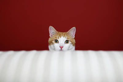 Photograph - Orange And White Cat Sits Behind A Sofa by Back In The Pack Dog Portraits