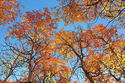 Photograph - Orange Aspen Canopy Backlit by Kathleen Bishop