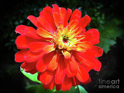 Photograph - Orange Burst Zinnia by Sue Melvin
