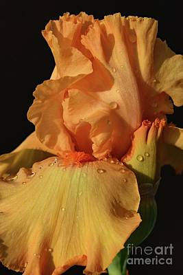 Tina Turner - Orange Delight - Bearded Iris by Cindy Treger