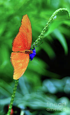 Photograph - Orange Julia Butterfly by Elaine Manley