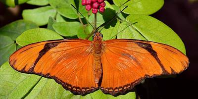 Photograph - Orange Julia by KJ Swan