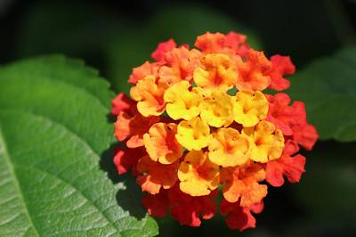 Photograph - Orange Lantana by Christopher Lotito