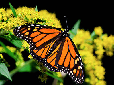 Photograph - Orange Monarch Butterfly by Christina Rollo