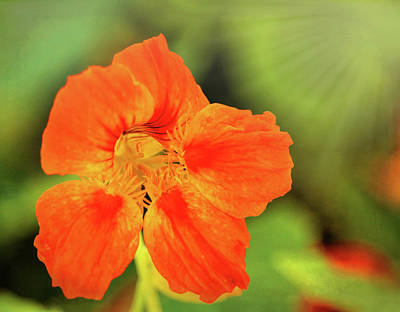 Farm House Style - Orange Nasturtium by Judy Vincent