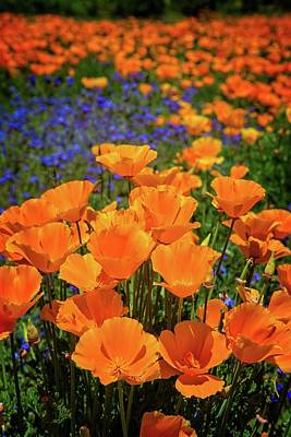 Photograph - Orange Poppies In A Sea Of Blue by Lynn Bauer