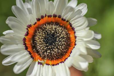 Photograph - Orange Ring. Cape Daisy by Jenny Rainbow