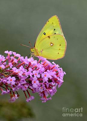 Design Turnpike Vintage Farmouse - Orange Sulphur Butterfly and Pink Butterfly Bush by Cindy Treger