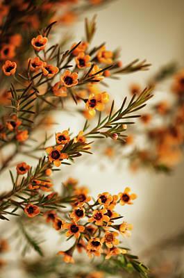 Orange Waxflowers Chamaelaucium Art Print by Maria Mosolova