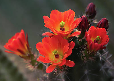 Photograph - Orangey Hedgehog Cactus Flowers  by Saija Lehtonen