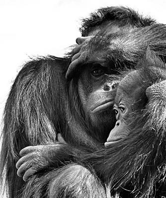Photograph - Orangutan With Juvenile by Sean Kaufmann