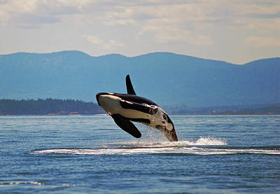 Beauty In Nature Photograph - Orca Breaching In Haro Strait Between by Thomas Kitchin & Victoria Hurst