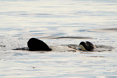 Photograph - Orca Family Time by Mike Dawson