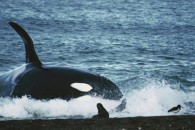 Photograph - Orca Orcinus Orca Hunting South by Hiroya Minakuchi/ Minden Pictures