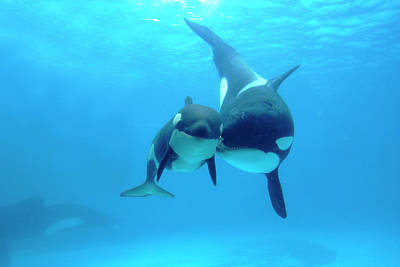 Photograph - Orca Orcinus Orca Mother And Newborn by Hiroya Minakuchi/ Minden Pictures