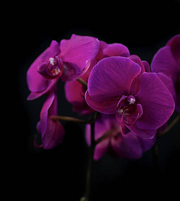 Photograph - Orchid 3 by Adam Kilbourne
