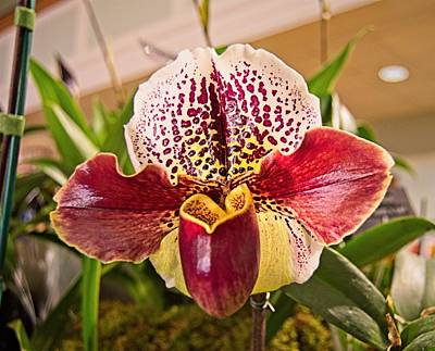 Photograph - Orchid 5 by Charles HALL