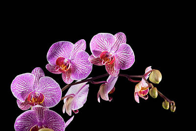 Photograph - Orchid On Black by Slobo