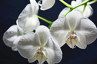 Photograph - Orchids by Lachlan Main