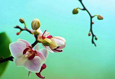 Close Up Photograph - Orchids Out For A Breath Of Fresh Air by Photo By Alan Shapiro