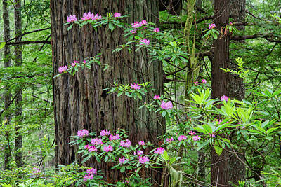 Photograph - Oregon Redwoods Rhododendrons by Leland D Howard