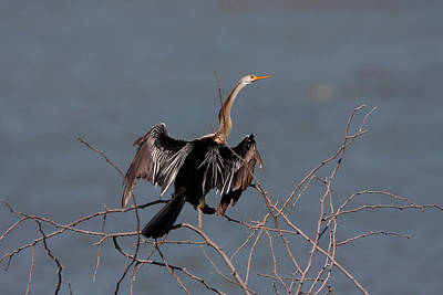 Photograph - Oriental Darter by David Hosking