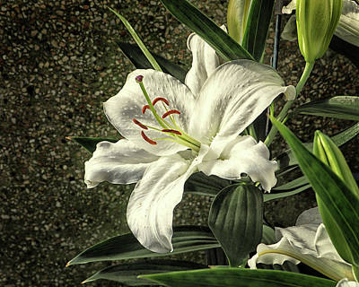 Photograph - Crystal Blanca Oriental Hybrid Lily by Bill Swartwout Fine Art Photography