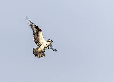 Photograph - Osprey 2019-2 by Thomas Young