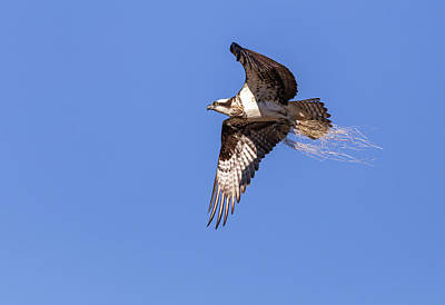Photograph - Osprey 2019-3 by Thomas Young