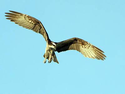 Photograph - Osprey 2702-090518-1cr by Tam Ryan